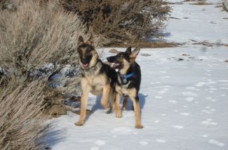 German Shepherd Dogs