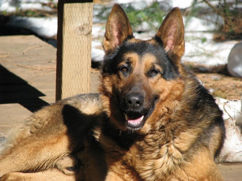 Akc Classic German Shepherd Breeder In Northern California