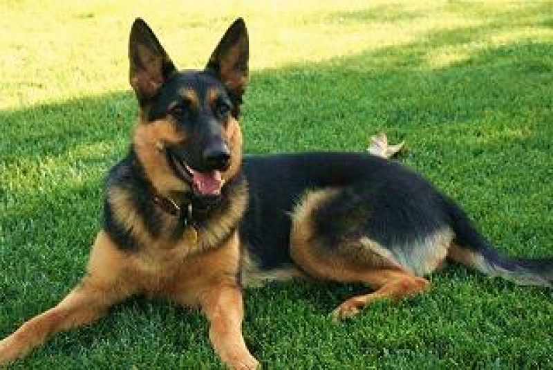 Image Result For German Shepherd Puppies California