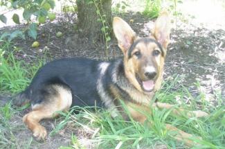 AKC German Shepherds for Sale